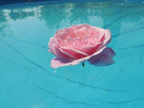 茎の無いピンクのバラ一輪
