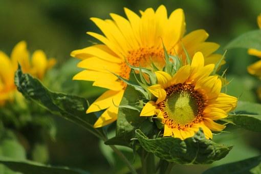 元気に咲くひまわりの花