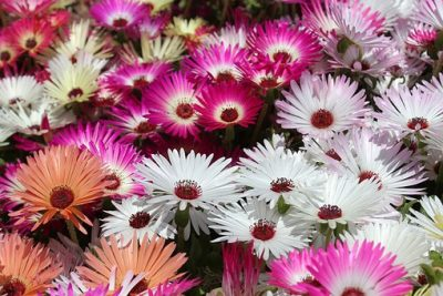 庭に咲くデージーの花々