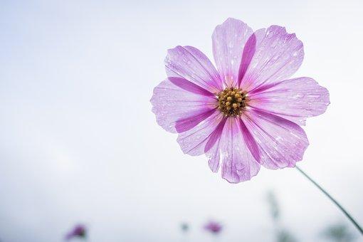 コスモスのお花