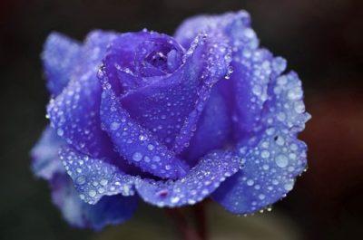 生花のブルーローズ(青色のバラ)
