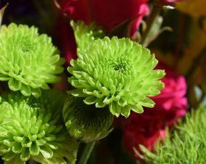 グリーンの花びらの日本の和のお花、菊