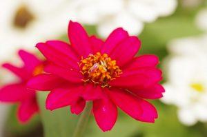 野に咲くピンク色の花びらのジニア
