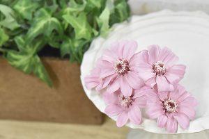 ピンク色の花びらのジニア