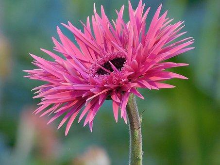 糸のような花びらを持つスパイダー品種のガーベラ