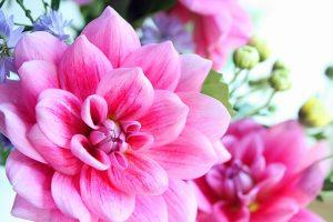 鮮やかなピンクのダリアの花