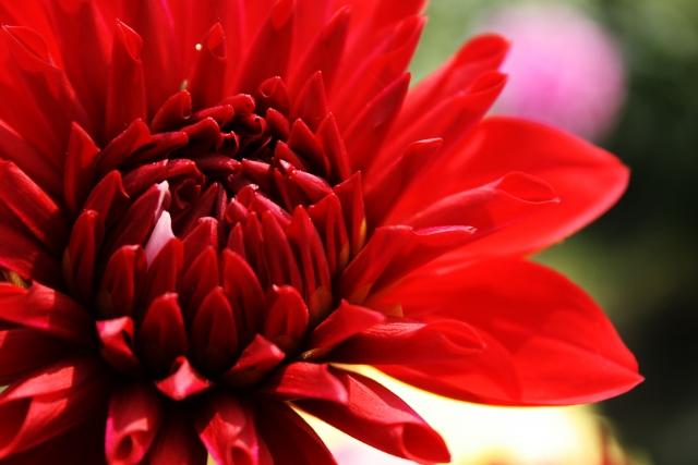真っ赤な花びらのダリア
