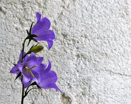 紫のベルフラワー