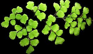 透けるような薄く淡いグリーンの葉物