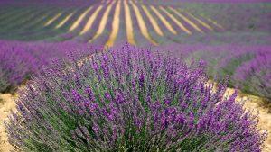 紫色のラベンダーの花が咲いた畑