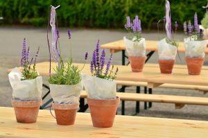 紫の花びらのラベンダー鉢植え