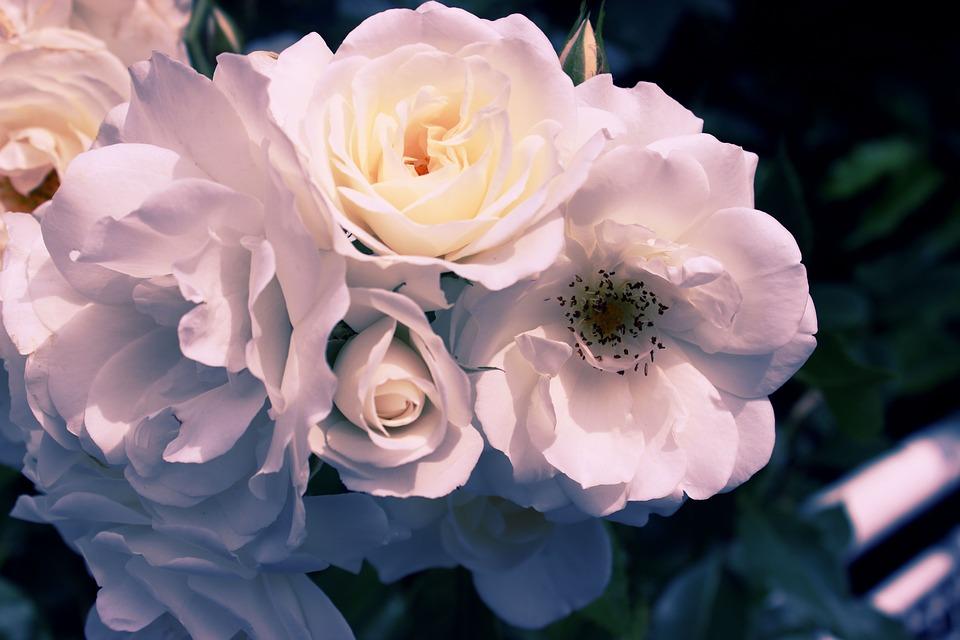 クチナシとバラ