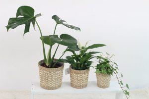 開店祝いに贈りたい観葉植物