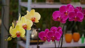 黄色とピンクの花びらの胡蝶蘭