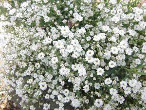 かすみ草の花