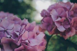 あじさいの花