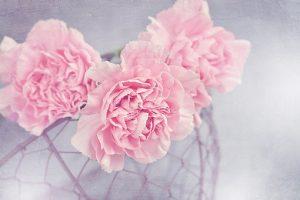 ピンク色の花びらのカーネーション
