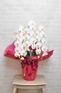 赤いラッピングをされた白い胡蝶蘭