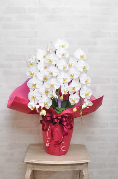 お祝いラッピングをした白の胡蝶蘭